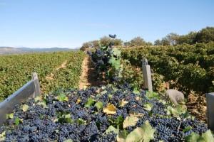 Vendimia en los viñedos del Somontano. Foto José Luis Pano.
