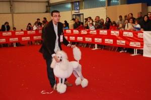 Un caniche gigante. Foto JLP.