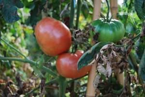 Tomate rosa de Barbastro. JLP.
