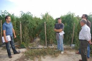 Plantación experimental de tomate rosa. JLP.