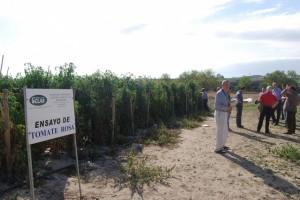 Plantación de tomate rosa en Barbastro. JLP.