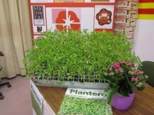 Plantero de tomate rosa de Barbastro. JLP.