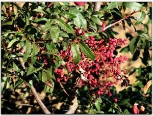 Hojas y frutos de Pistacia terebinthus. Foto: Juan Manuel Sanz Casales.