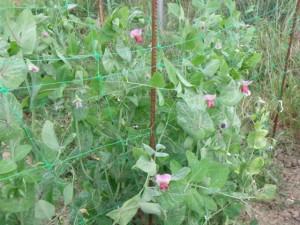 Cultivo de bisaltos.