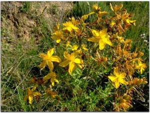 La planta tiene propiedades curativas recogidas incluso en El Quijote. Foto: JMS.