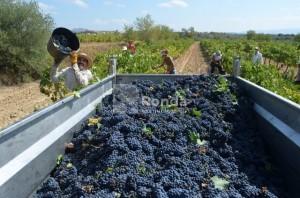 Trabajos de vendimia el año pasado en Viñas del Vero. José Luis Pano.