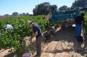 Vendimia en Pozán de Vero de Viñas del Vero. JLP.