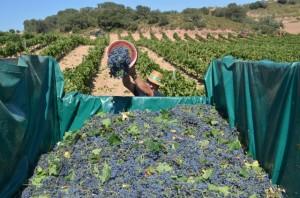 Recogida de uva en el viñedo de Viñas del Vero. JLP.