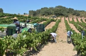 Vendimia en el Somontano en viñedos de Viñas del Vero. JLP.