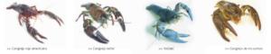 Imagen de las diferentes especies de cangrejo de río que podemos encontrar©Catálogo de especies amenazadas del Gobierno de Aragón