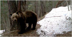 Imagen de un ejemplar de oso pardo. ®Copyright. PROYECTO PYROS