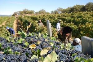 Recolección de uva en 2008. Foto JLP.