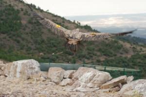 Un buitre inicia el vuelo. Foto S.E.