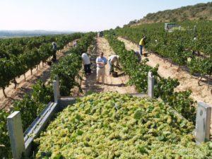 La uva chardonnay la primera en ser recogida. Foto JLP.