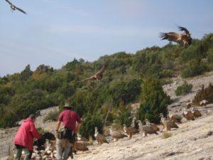 Los buitres en el muladar de Santa Cilia de Panzano. Foto Manuel Puyuelo.