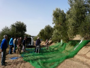 Demostración de recogida de aceitunas en Costean. Foto R.S.