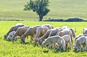 Rebaño de ovejas pastando. Foto S.E.