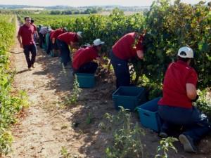 Atades Huesca en labores de vendimia en Enate.