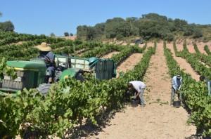Vendimia en viñedos de Viñas del Vero en Pozán. José Luis Pano.